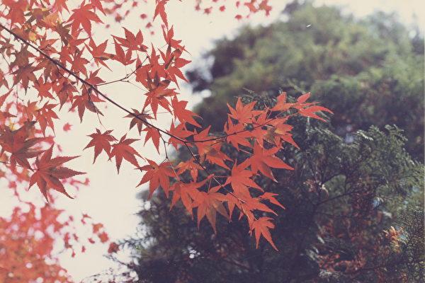 楓紅(大紀元攝影)