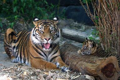 虎仔是由一只4岁的苏门答腊虎头胎产下(12月18日,法新社)
