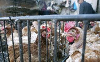 南韓下令暫時禁止自中國進口雞鴨等家禽