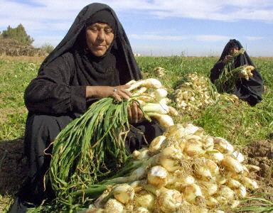 一名伊拉克婦人在洋蔥田園(AFP PHOTO 2002-2-6)