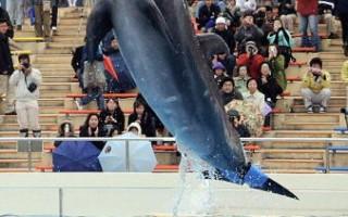 沖繩美麗海水族館的海豚表演。圖:AFP/AFP/Getty Images提供