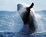 座头鲸(驼背鲸)。(AFP/Getty Image)