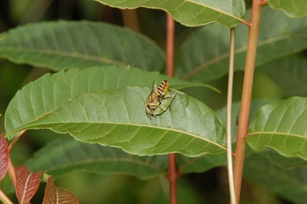 切葉蜂正在切香椿葉片的連拍鏡頭一