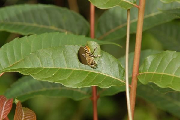 切葉蜂正在切香椿葉片的連拍鏡頭二
