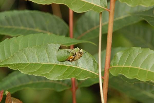 切葉蜂正在切香椿葉片的連拍鏡頭四
