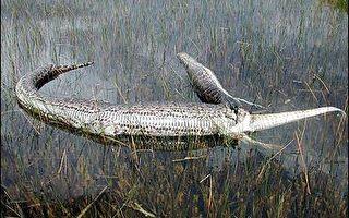 缅甸巨蟒与佛州鳄鱼大战 双双阵亡