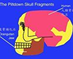 皮尔当人的骨头组成──下颚骨是猿的,头颅骨是人的(图片提供:Lee Krystek)