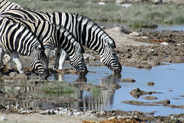 人造或天然的水塘提供各种生物的饮用水源