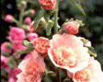 【花与花的故事】万紫千红 、堂皇壮观的蜀葵(下)