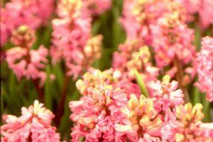 【花與花的故事】友情之花---風信子
