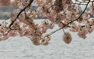 組圖二:春意盎然    華府櫻花展風情