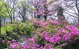 春分節氣杜鵑花盛開情景。