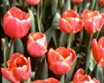 【花与花的故事】荷兰的国花—郁金香(上)
