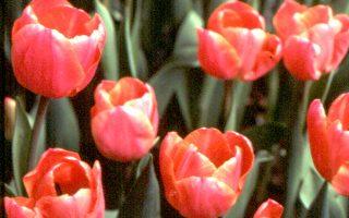 【花與花的故事】荷蘭的國花---鬱金香(上)