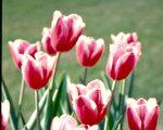 【花与花的故事】荷兰的国花—郁金香(下)