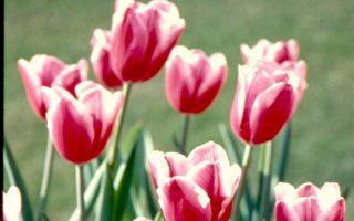 【花與花的故事】荷蘭的國花---鬱金香(下)