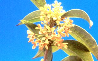 【花與花的故事】月下風前自在香---桂花(下)