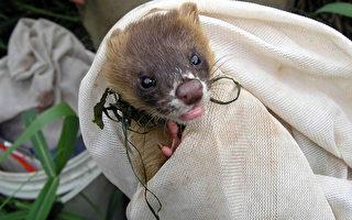 学者在关渡自然公园内研究,意外捕捉到黄鼠狼。关渡自然公园管理处表示,研究人员已采血,可望以DNA分析,厘清关渡平原黄鼠狼与山区常见的种类是否同种。(照片由关渡自然公园提供)