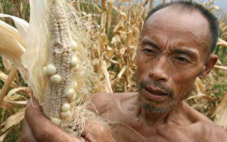大陸玉米飆漲30% 飼料漲兩成