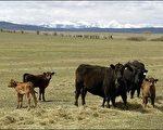 加拿大食品检验局今天表示,加拿大西部亚伯达省境内一头成年牛只,证实感染疯牛病,这是自二○○三年以来加拿大境内发现的第八起病例。(图片来源:法新社)