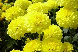 【菩萨蛮】节日:重阳‧簪花赏菊