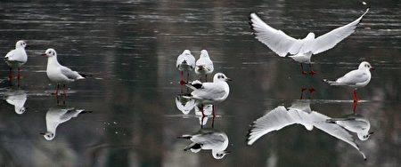 法国巴黎:鸟儿在结冰的湖上行走(Photo by Gabriel Bouys / AFP Photo)