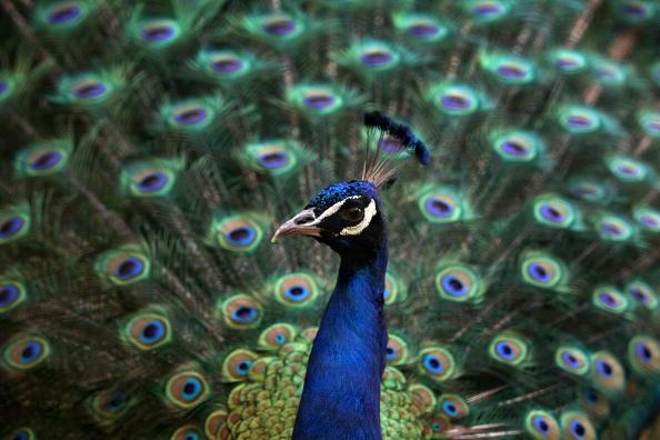 保加利亚 索非亚 美丽的孔雀开屏 像五颜六色的屏风(Photo credit should read VALENTINA PETROVA/AFP/Getty Images)