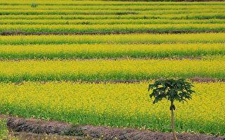 家鄉,春回大地,豔陽天,油菜花鋪天蓋地,播種過的原野上,春麥茸茸地綠了一層。(伊羅遜/大紀元)