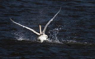 小天鹅受困清水镇高美湿地  民众伸手驰援