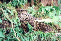 婆羅洲雲豹(法新社 )