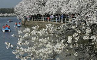 組圖:華府櫻花盛開吸引大批人潮
