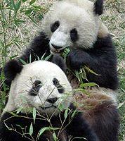 北京赠港猫熊抵达  取名乐乐 盈盈