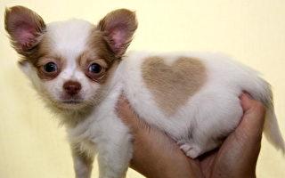 组图:心形毛发的小狗狗支娃娃
