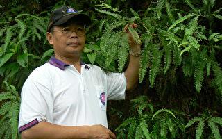 兰潭唯一的芒萁族群,芒萁除了有观赏用途之外,具有水土保持的功效,也是火灾后可以急速复原的植物,属极优地衣品种。(摄影:李撷璎/大纪元)