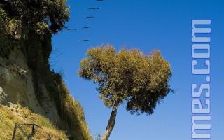 寧靜的Capitola海灘﹐一群鵜鶘從天空飛過。 (攝影﹕Mark Zou/ 大紀元)
