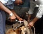 印度新德里流浪狗為患(圖﹕PRAKASH SINGH/AFP/Getty Images)