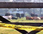 9月14日,英国证实在另一座农场里爆发口蹄疫,目前已经在这座农场周围10公里设立了控制区。(GettyImages//Peter Macdiarmid)