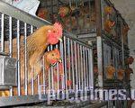 香港于1997年爆发禽流感疫情,全港大规模杀鸡以防止疫情扩散。这亦是全球首次发现这种致命病毒。图为香港街市一鸡档。(摄影:许珀珩/大纪元)