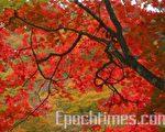 寒露九月节,红叶艳若二月花。(大纪元)
