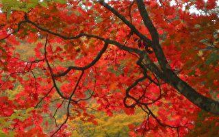 【节气】寒露九月节 黄花红叶蟹盈筐