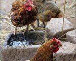 没有禽流感的江苏省一人因禽流感才去逝,其父又确诊H5N1,引发人传人疑虑。(法新社)