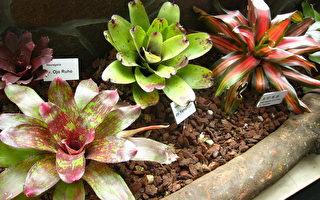 科博館推出「鳳梨科植物特展」,為觀眾祈許好運、財運旺旺來,歡迎民眾把握機會欣賞。(科博館提供)