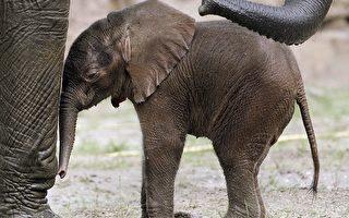 嗅觉和记忆间的关联不容忽视。大象的视力很差,但是嗅觉灵敏。研究显示,他们靠残留在地面上的尿液痕迹记忆并辨识家庭成员的行踪。(MARCUS BRANDT/AFP/Getty Images)