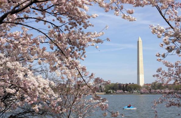 30年前一直得等到4月5日,美國首府華盛頓著名的櫻花才會綻放,然而出人意表地,今年這些花兒已在三月底全面盛開。(圖/SAUL LOEB/AFP/Getty Images)