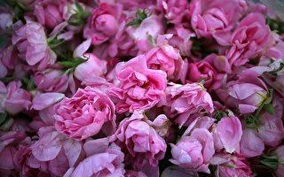 采集来准备加工的玫瑰 (AFP)