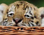 安塔列斯一亮相就受到了众多追捧,当天还有各路媒体新闻记者和摄影记者专程赶到动物园捕捉安塔列斯的可爱表情。(AFP PHOTO)
