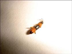 小得像螞蟻的隱翅蟲。(資料照,慈濟玉里分院提供)//自由時報