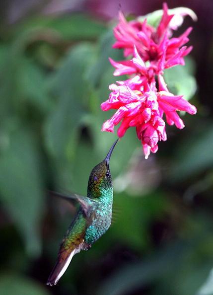 在空中飛舞的蜂鳥(法新社)