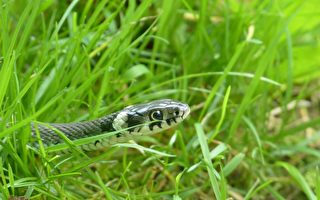 草地上的蛇。(公有领域)