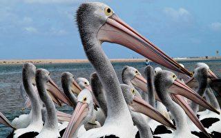 澳大利亚自然风光–湖口  鹈鹕之都